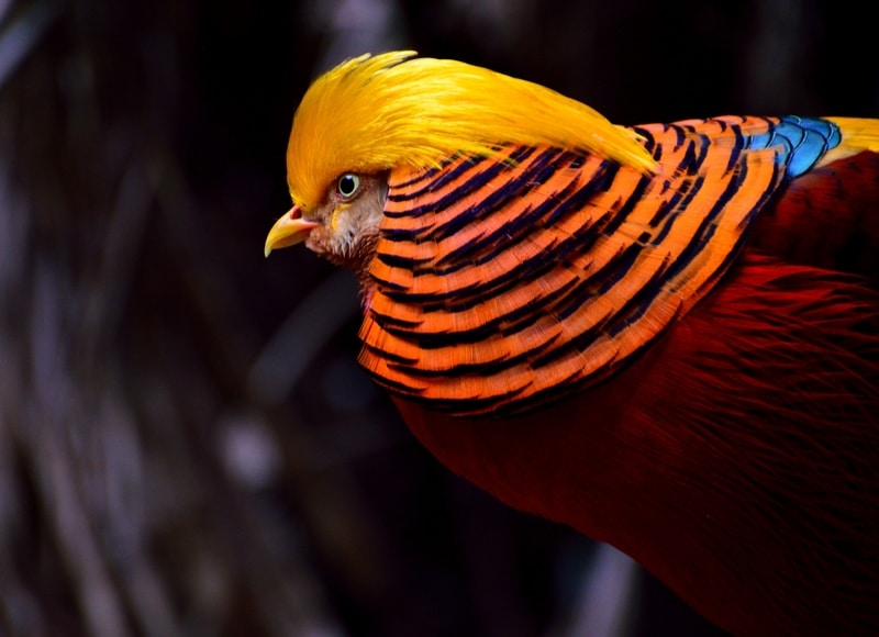 golden pheasant keel billed toucan - Most Beautiful Birds in the World