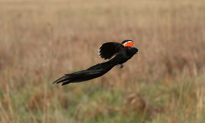 long tailed widow bird